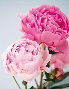 Blumen Aus Seidenpapier : blumen pfingstrosen die ballk niginnen unter den blumen ~ Orissabook.com Haus und Dekorationen