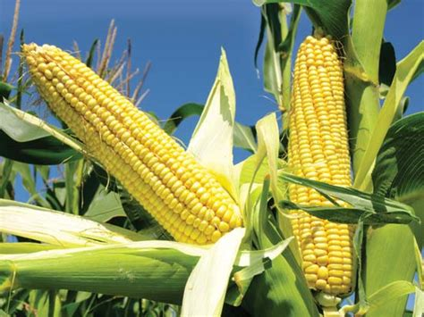 corn | plant | Britannica.com