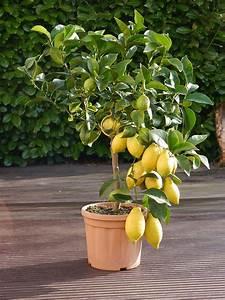 Dünger Für Zitronenbaum : ein toller zitronen baum zur hochzeit das perfekte ~ Watch28wear.com Haus und Dekorationen
