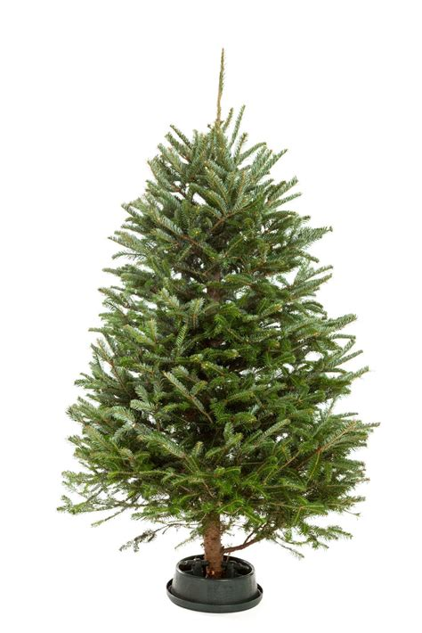 add sugar to christmas tree water tree watering tips how to get a tree to take up water