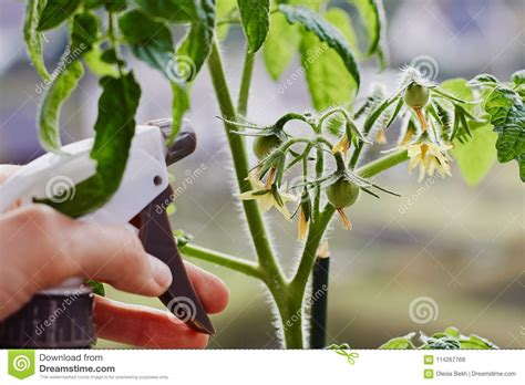 Growing Tomatoes Indoors On A Windowsill by Tomatoes Growing Indoors On A Windowsill And A