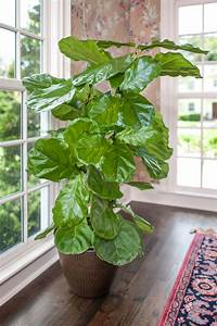 Ficus Lyrata For Sale Full Size Plants High Quality