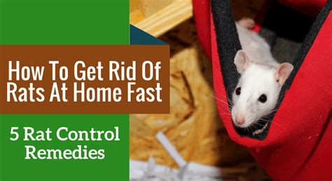 how to get rid of mice in house how to get rid of rats at home fast 5 rat remedies