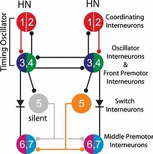 Diagram Interneurons