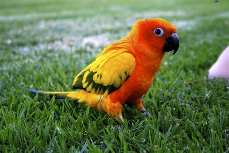 sun conure sun conure facts behavior as pets care feeding pictures singing wings aviary