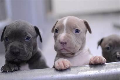 Pitbull Nose Puppies Pit Bull Pitbulls American