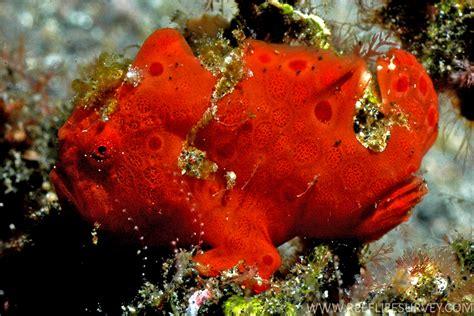 frogfish fish frog antennarius anglerfish pictus saltwater species prev
