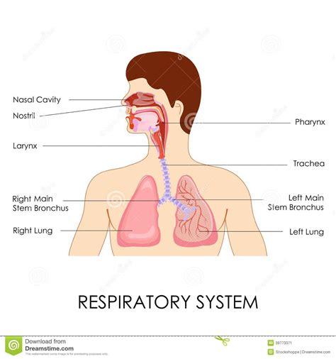 appareil respiratoire illustration de vecteur image du respirez 39773371