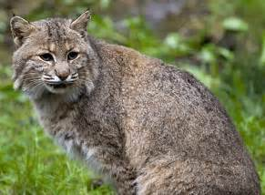 bob cat bobcats wildlife amazing facts photos the wildlife