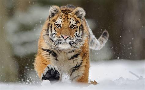 sibirische tiger die groesste lebende katze der erde