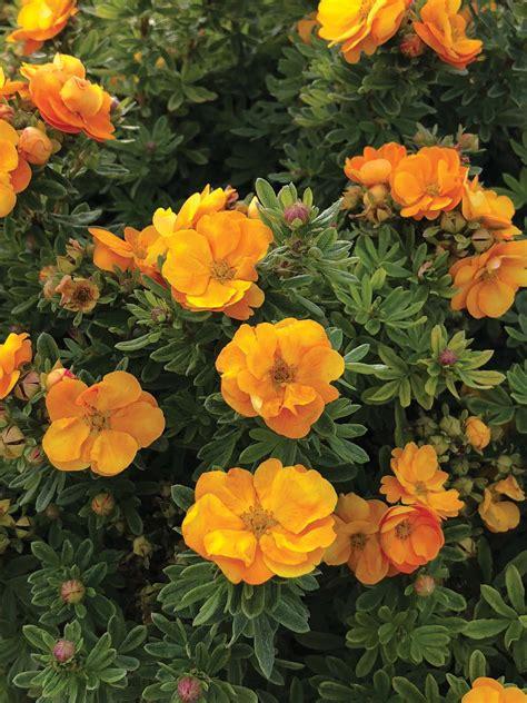 Lady Marmalade Potentilla - T&T Seeds