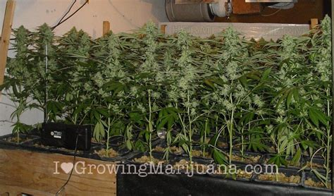Growing Pot Plants From Seeds Marijuana Grow Journal Nlx 1 7 Kilo Yield