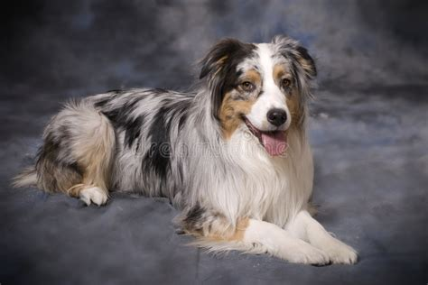 purebred australian shepherd blue merle stock photo