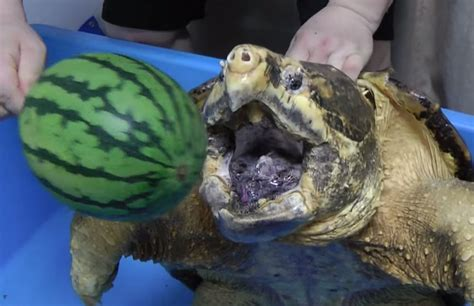 turtle snapping watermelon jaws powerful crushes its bite alligator turtles outdoorhub