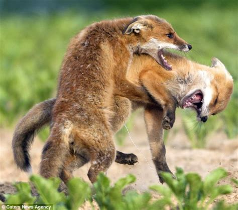 Fox Cubs Squabble Over A Stash Of Hidden Food Daily Mail