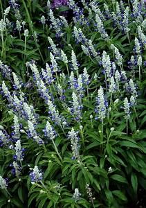 La Sauge Plante : sauge ornementale planter et cultiver ooreka ~ Melissatoandfro.com Idées de Décoration