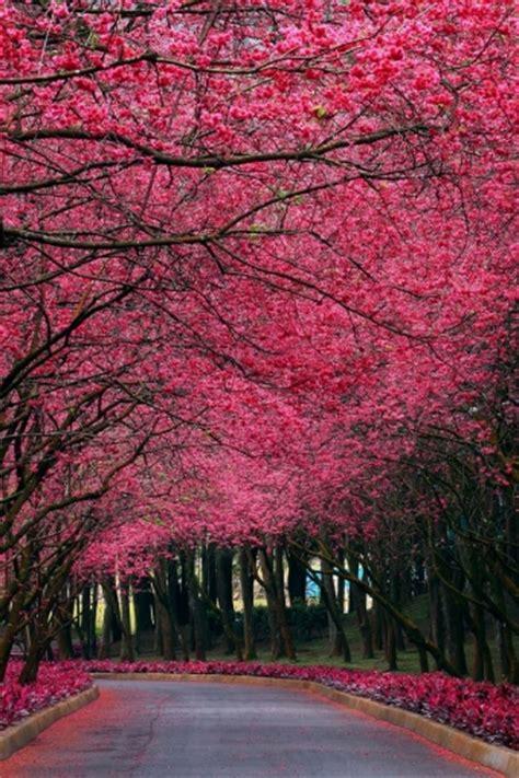 Stunning cherry blossoms peek through hazy clouds in this sakura wall mural. Cherry Blossoms iPhone Wallpaper - WallpaperSafari