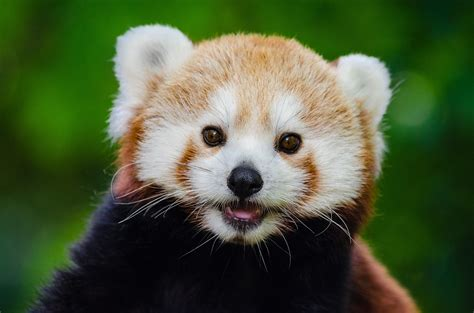 Sorry Red Pandas Arent Pets