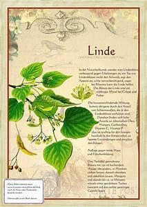 Linde Baum Steckbrief : 27 besten b ume mitteleuropa bilder auf pinterest pflanzen botanik und esche baum ~ Orissabook.com Haus und Dekorationen
