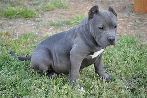 50 Most Beautiful Pit Bull Dog Pictures And Photos