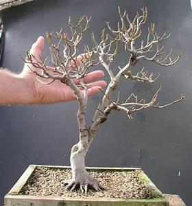Red Maple (Acer rubrum) | Bonsai | Pinterest | Acer rubrum ...