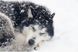 Pics Photos - Winter Sky Snow Trees Sleeping Wolf Ice Firefox Persona      Adorable Husky Puppy Sleeping