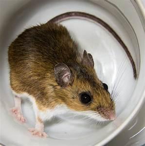 Comment Se Débarrasser Des Souris Dans Une Maison : souris dans une maison gallery of finest pourquoi se dbarrasser des souris with comment se ~ Nature-et-papiers.com Idées de Décoration