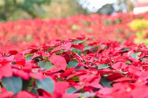 flower  christmas celebration stock photo image