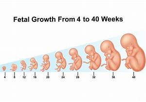 Fetal Growth From 4 To 40 Weeks Vector
