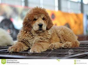 Baby Tibetan mastiff stock photo. Image of ferocity ...