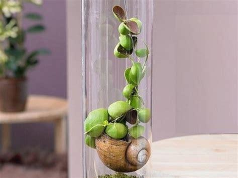 cuisine carré la plante escargot ou snaily dischidia un végétal original