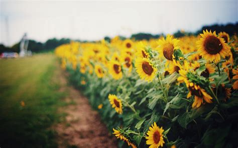 sunflower pictures hd desktop wallpapers  hd