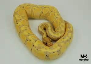Banana Ball Python Snake