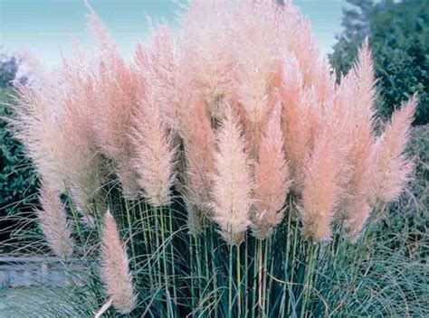 Pampas Grass, Grasses And Olives On Pinterest