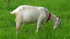 Domestic White Goat Eating Grass Stock Footage Video  100