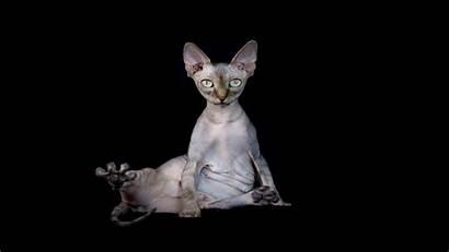 Sphynx Cat Wallpapers
