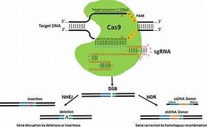 Gene Editing With Crispr  Cas9 Rna