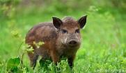 美國野豬泛濫,寧願損失10億美元美國也不願意吃,原因是什麼? - 每日頭條