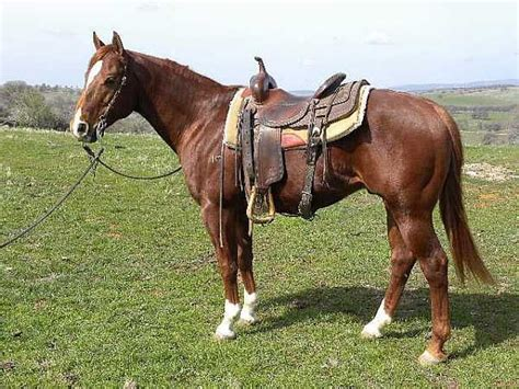 quarter horse horses american ranch roan brooks sales equine tack sorrel cowboy complete guide gathered help todaysequine
