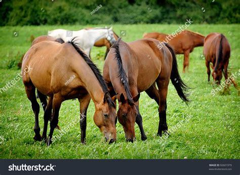 grazing horses shutterstock