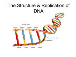 DNA Replication Diagram