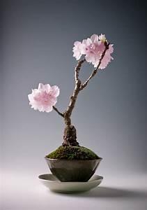 Sakura Baum Kaufen : bonsai baum kaufen und richtig pflegen einige wertvolle tipps ~ Frokenaadalensverden.com Haus und Dekorationen