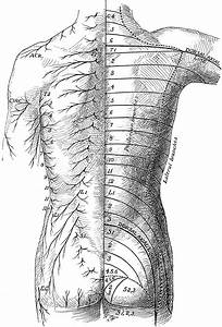 Posterior View Of The Cutaneous Nerves Of Trunk