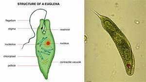 Plant-like Protists