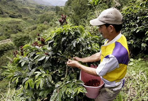 El Niño Coffee-crop Damage Drives Up Prices Delonghi Coffee Maker Vintage Machine Bing Lee Italian York Replacement Parts Reforma Wiki Phone Number Esam3300 Magnifica Super-automatic Espresso/coffee Youtube
