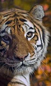 Elusive Siberian Tigers Captured in Brilliant Images (Photos)