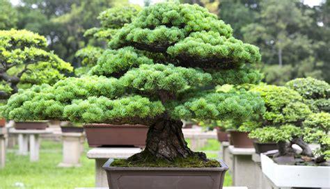 la culture du bonsa 239 tout un