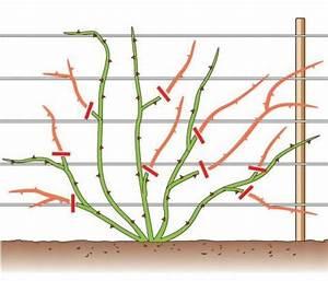 Kletterrosen Richtig Pflanzen : rosen richtig schneiden in 2018 g rtnern pinterest garten garten ideen und rosen ~ Markanthonyermac.com Haus und Dekorationen