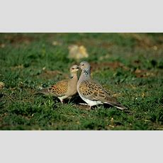 Turtle Dove Numbers Have Dropped By 97 Per Cent Thanks To Hunting  Daily Mail Online