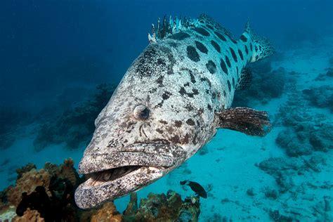 grouper cod reef potato barrier epinephelus tukula fish hole checking